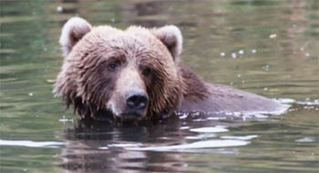 A swimming bear.